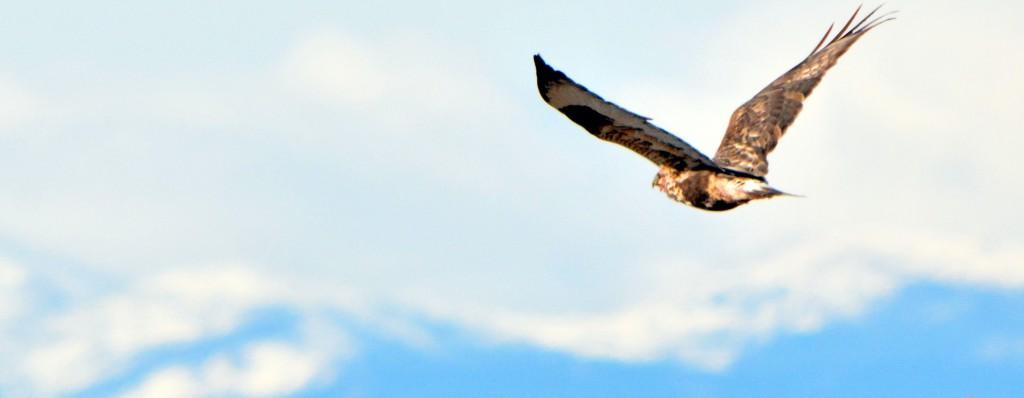 Rough-legged Hawk - Adams County, Colorado (47)