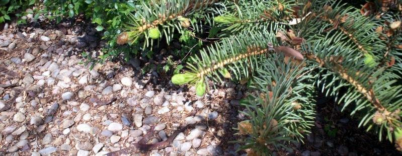 New Pine Cones
